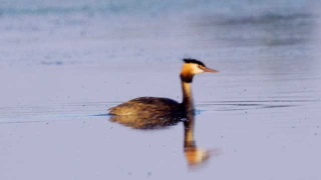 bird - great crested grebe ( podiceps cristatus ) swims on the lake on a sunny summer morning. - svasso video stock e b–roll