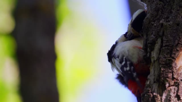 bird - great spotted woodpecker ( dendrocopos major ) sitting on a tree oak. - ornitologia video stock e b–roll