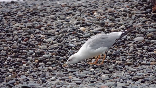bird gull looking for food on the seashore - tasty movie filmów i materiałów b-roll