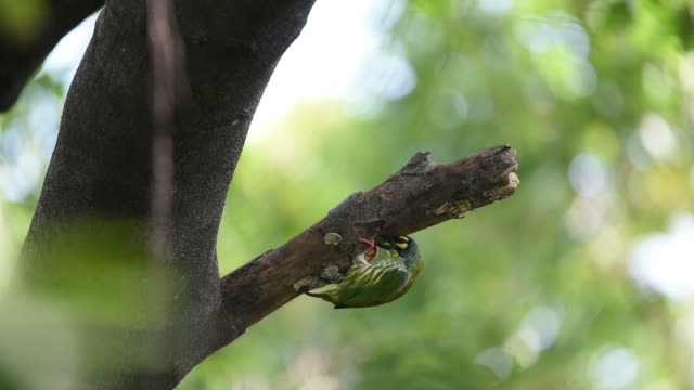 Bird (Coppersmith barbet) in a wild video