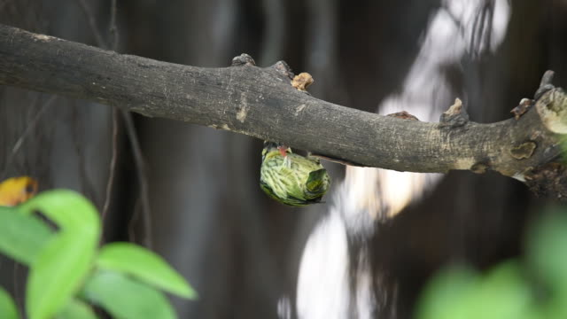 Bird (Coppersmith barbet) in hollow tree trunk video