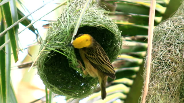 bird make nest on coconut tree in nature