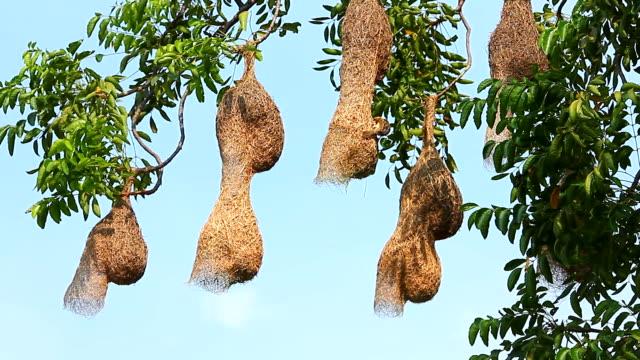Bird Making bird'nest on the tree video