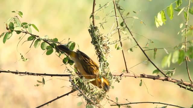 Bird making bird's on the tree video
