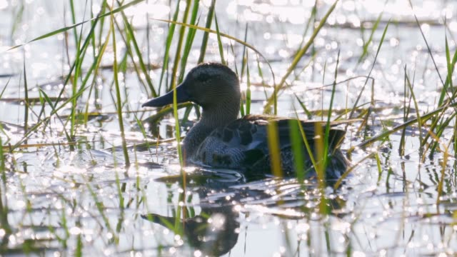 bird - male garganey (spatula querquedula) floating on the lake in the grass in the early summer morning. - lakeshore stock videos & royalty-free footage