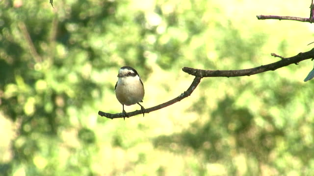 bird masken shrike auf ast im wald jagd insekten - bedrohte tierart stock-videos und b-roll-filmmaterial