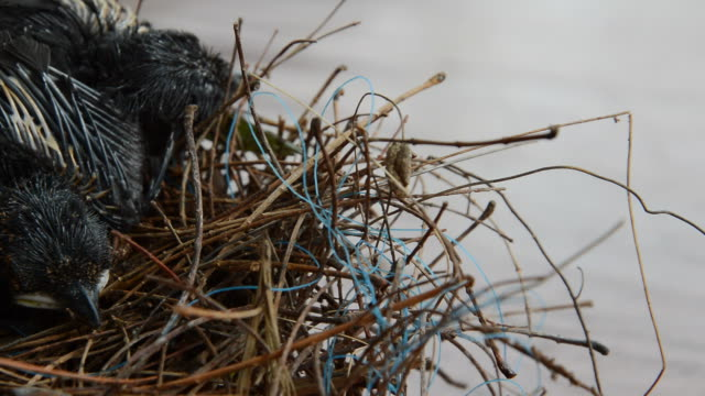 bird nest with young birds video