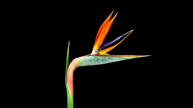 Bird of Paradise; TIME LAPSE video