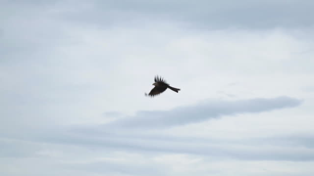 Bird of prey flying against the cloudy sky video