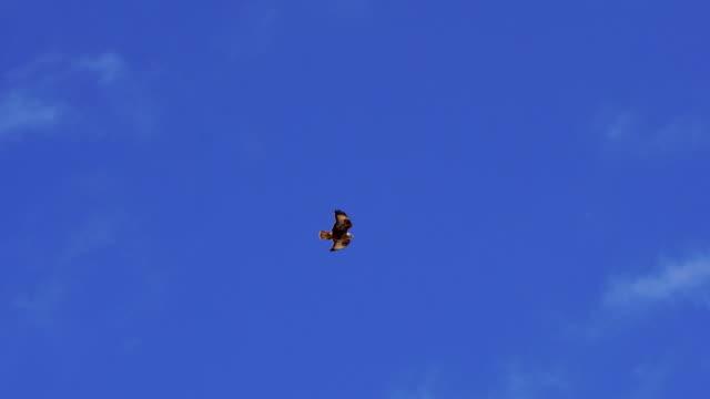 Bird of prey flying on Fuerteventura sky Bird of prey probably common buzzard in Fuerteventura bird of prey stock videos & royalty-free footage