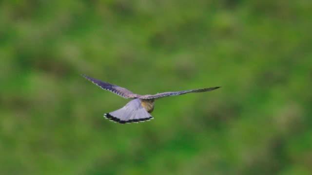 bird of prey gliding above green field - uccello rapace video stock e b–roll