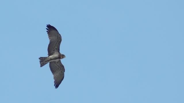 低角度表示、飛行中の猛禽 - ローアングル点の映像素材/bロール