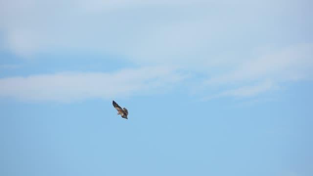 Bird of prey in flight ,low angle view. Short toed snake eagle spreading wings  soaring in cloud blue sky  ,4K video. bird of prey stock videos & royalty-free footage