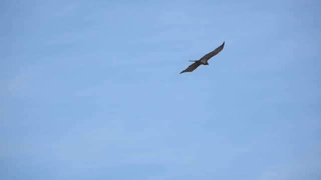 Bird of prey in flight ,low angle view. Short toed snake eagle spreading wings  soaring in cloud blue sky  ,hd slow motion video. hawk bird stock videos & royalty-free footage