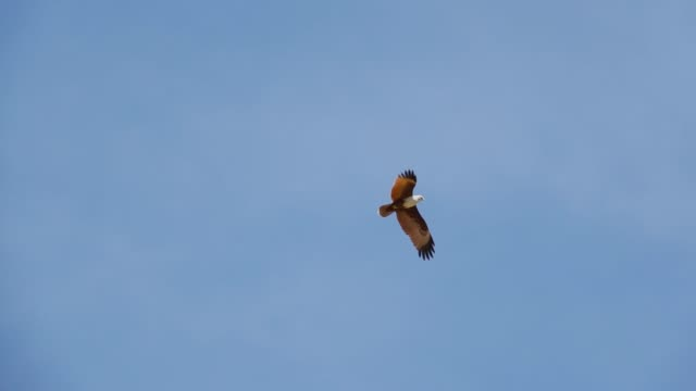 Bird of prey in flight,low angle view. Brahminy kite mature bird  soaring  with spreading reddish brown wings across cloud blue sky,hd slow motion. hawk bird stock videos & royalty-free footage