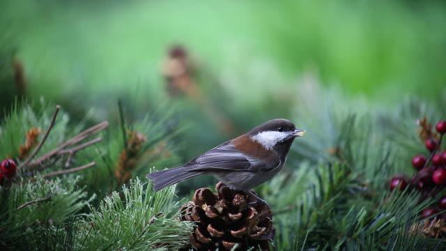 bird on a pine cone video