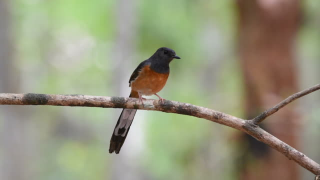Bird (White-rumped shama) on a tree video