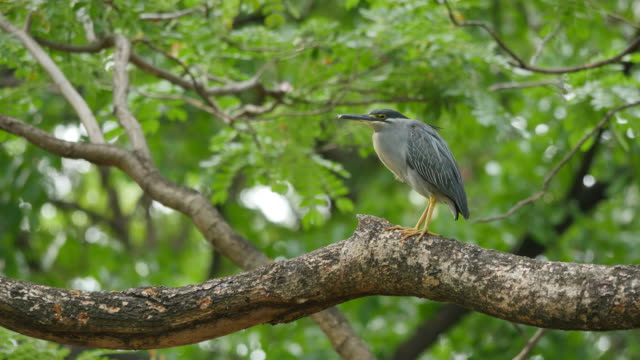 Bird (Black-crowned night heron) on a tree. video