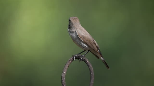 Bird (Red-throated Flycatcher) on a tree video