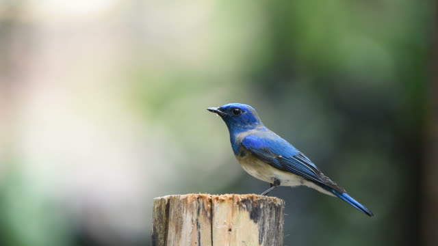 Bird (Blue-and-white Flycatcher) on a tree video
