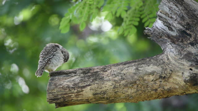 Bird (Spotted owlet; Owl) on a tree video