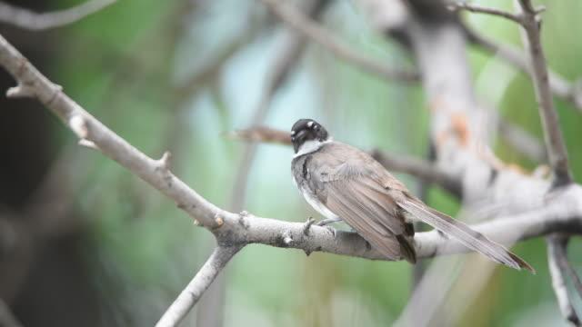 Bird (Pied Fantail Flycatcher) on a tree video