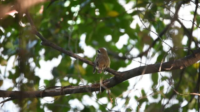 Bird (Brown Shrike) on a tree video