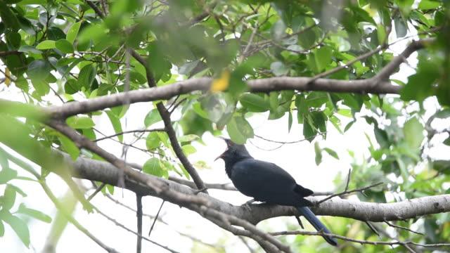 Bird (Asian koel, Eudynamys scolopaceus) on a tree video