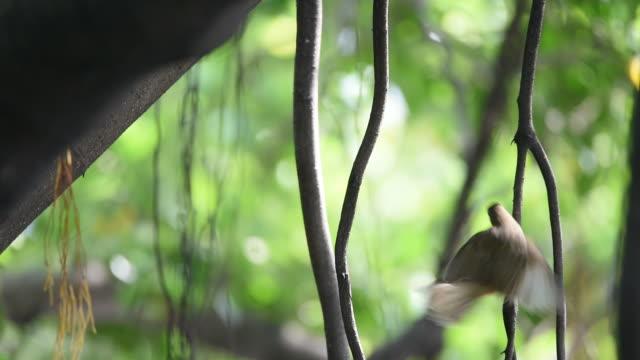 Bird (Streak-eared bulbul) on a tree video