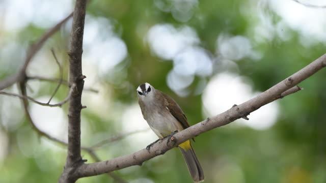 Bird (Yellow-vented Bulbul) on a tree video