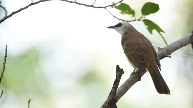 bird (yellow-vented bulbul) on a tree - appollaiarsi video stock e b–roll