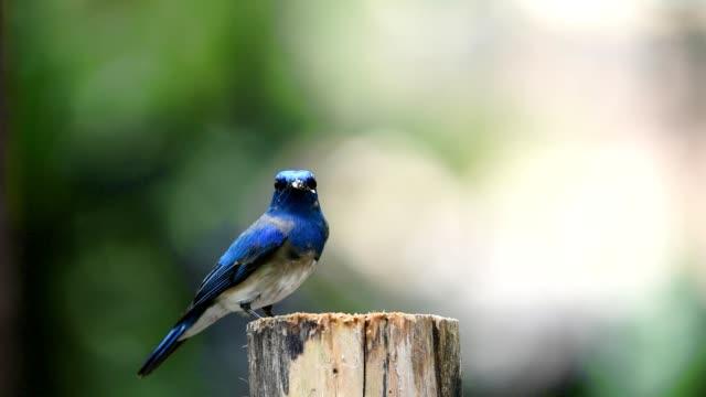 Vogel (blau-weißen Flycatcher) auf einem Baum – Video