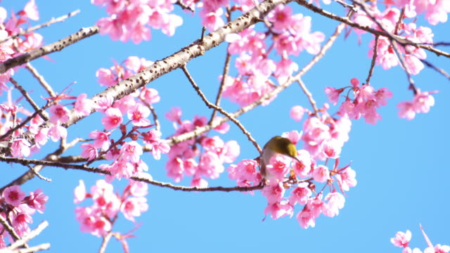 fågel på cherry blossom träd i japan - djurkroppsdel bildbanksvideor och videomaterial från bakom kulisserna