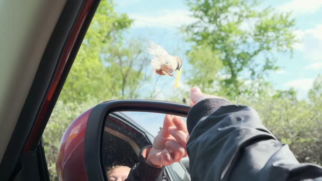 bird on the fly takes french fries from female hand giving food from car window.