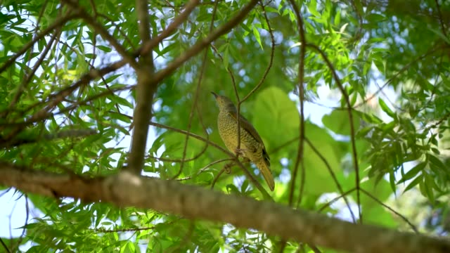 A bird on the tree A little bird playing on the tree making noise oceania stock videos & royalty-free footage