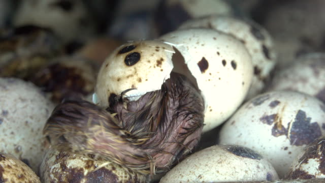 bird out of egg - утка водоплавающая птица стоковые видео и кадры b-roll