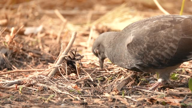 a bird pigeon searches for food on the ground in the forest, plowing its beak in slow motion - tasty movie filmów i materiałów b-roll