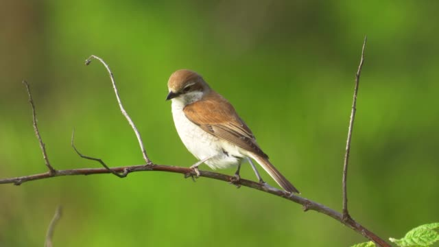 bird - red-backed shrike ( lanius collurio ) female sitting on a branch of a tree and resting. - ornitologia video stock e b–roll