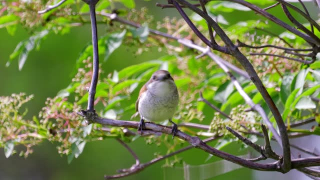 bird - red-backed shrike ( lanius collurio ) female sitting on a branch of a tree and resting - ornitologia video stock e b–roll