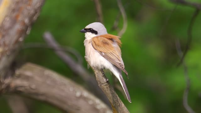 bird - red-backed shrike ( lanius collurio ) male sitting on a branch of a tree and cleans his feathers - ornitologia video stock e b–roll
