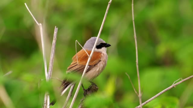 bird - red-backed shrike ( lanius collurio ) male sitting on a branch of a tree and resting. - zoologia video stock e b–roll