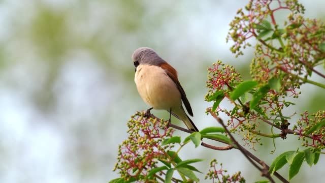 bird - red-backed shrike ( lanius collurio ) male sitting on a branch of a tree and resting. - ornitologia video stock e b–roll