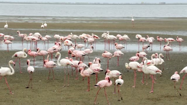 bird Rosy Flamingo colony in Walvis Bay, Namibia, Africa wildlife Huge colony of Rosy Flamingo birds in Walvis Bay Namibia, Africa safari wildlife and wilderness swakopmund stock videos & royalty-free footage