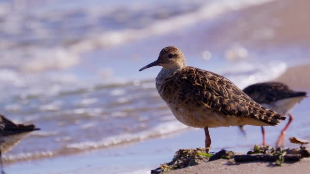 bird - ruff ( calidris pugnax ) stands on a sandy shore at the very edge of the water on a sunny summer morning. - ornitologia video stock e b–roll