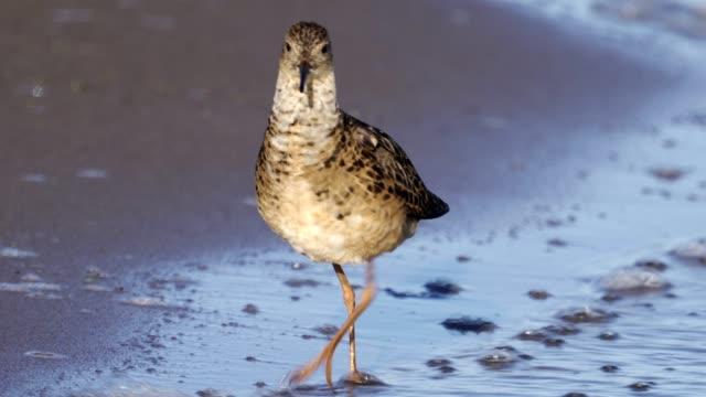 bird - ruff (calidris pugnax) walks along the sandy shore on a sunny summer morning. - ornitologia video stock e b–roll