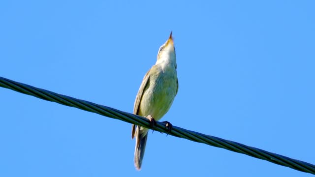 bird - sedge warbler ( cyanicula svecica ) sitting on an electric wire and resting sunny summer morning. - ornitologia video stock e b–roll