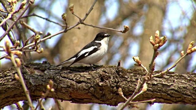 bird semi-brauner schnäpper sich niederlassen und singen auf einem baum - bedrohte tierart stock-videos und b-roll-filmmaterial