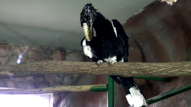 Bird, Serebryanokryly Hornbill video