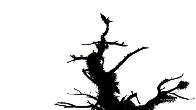 Bird Silhouette video