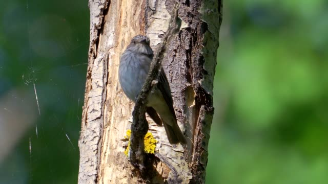 bird - spotted flycatcher ( muscicapa striata ) sitting on an aspen branch. sunny summer morning in the forest. - ornitologia video stock e b–roll